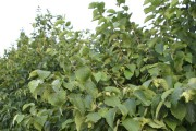 Le noisetier d'Amérique est malheureusement peu cultivé.... (www.jardinierparesseux.com) - image 6.0