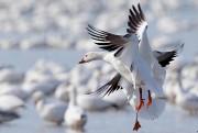 Les couples d'oies blanches ne se séparent jamais.... (Photo David Boily, La Presse) - image 3.0