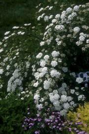 Une spirée Van Houtte en forme produit des... (www.jardinierparesseux.com) - image 2.0