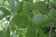 Les excroissances vues sur les feuilles de ce... (Fournie par Michel Bérubé) - image 8.0