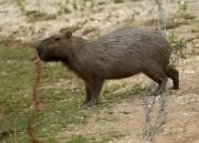 La présence de capybaras, rongeurs dont le poids... (PhotoAndrew Boyers, Reuters) - image 1.0