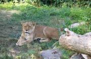 Une lionne se repose au Zoo de Granby.... (Photo Janick Marois, La Voix de l'Est) - image 1.0