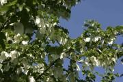 L'arbre aux mouchoirs peut pousser dans les zones... (www.jardinierparesseux.com) - image 2.0