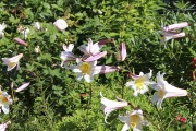 Le lis royal dans l'allée royale des Jardins... (www.jardinierparesseux.com) - image 3.0