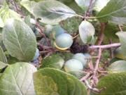 Le nodule noir est une maladie des pruniers... (Josée Nadeau) - image 6.0