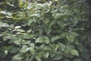 L'herbe à puce est une plante très différente,... (Fournie par jardinierparesseux.com) - image 2.0
