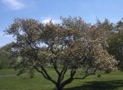 L'Amélanchier laevis est parmi les trois amélanchiers les... (jardinierparesseux.com) - image 8.0