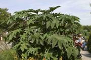 Aussi gigantesque soit-il, le ricin peut être produit... (www.jardinierparesseux.com) - image 4.0