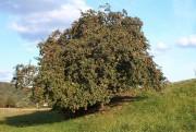 On peut récupérer un vieux pommier qui n'a... (Maseltov, Wikimedia Commons) - image 3.0