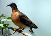 «Ledernier pigeon migrateur est mort dans un zoo... (PHOTO FOURNIE PAR Keith Schengili-Roberts) - image 1.0