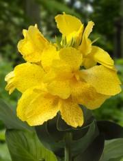 Canna CannaSol 'Lily'... (DümmenOrange) - image 6.0