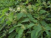 Fleurs de la renouée du Japon... (Jardinierparesseux.com) - image 12.0