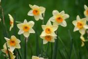 Plusieurs narcisses aux fleurs multiples mais petites fleurissent... (Photo Ryan Somma, tirée de Wikimedia Commons) - image 3.0