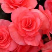 Bégonia Solenia Dark Pink.... (Domaine Joly-De Lotbinière) - image 9.0