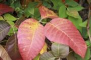 L'herbe à la puce se reconnaît par ses... (jardinierparesseux.com) - image 11.0