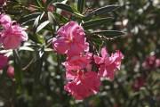 Il faut rentrer le laurier-rose à l'abri pour... (www.jardinierparesseux.com) - image 5.0