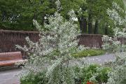 Avec son feuillage argenté, le chalef 'Quicksilver' illumine... (Photo www.jardinierparesseux.com) - image 3.0