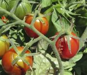 Des tomates cerises fendues... (Wikipedia) - image 4.0