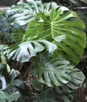 Les grandes feuilles découpées du monstera... (www.jardinnierparesseux.com) - image 5.0