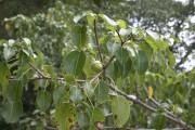 Le fruit de l'arbre de la mort peut... (www.jardinnierparesseux.com) - image 13.0