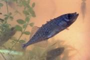 L'épinoche à cinq épines est un petit poisson au corps lisse et sans écailles.... - image 1.1