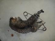 Deux chats ont récemment été retrouvés dans des... (Photo fournie par la SPA) - image 1.0