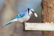 Les geais bleus sont avides d'arachides en écales.... (Photo Thinkstock) - image 2.0