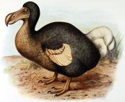 Le dodo s'est éteint moins d'un siècle après... - image 1.0