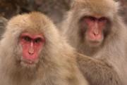 Le Jigokudani Monkey Park est l'occasion de voir... (Photo Bernard Brault, La Presse) - image 2.0