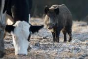 En élevage au Québec, le sanglier peut avoir... (PHOTO SWEN PFOERTNER, ARCHIVES AGENCE FRANCE-PRESSE) - image 1.0