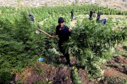 Une plantation de cannabis découverte par la police,... (Associated Press) - image 11.0