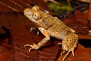 Une grenouille de trois centimètres, laLeptolalax isos, a... (AFP, Jodi Rowley) - image 4.0