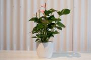 L'anthurium fait partie du groupe sélect des plantes... (Photo François Roy, La Presse) - image 4.0