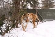 Un tigre de l'amour a pu être aperçu.... (Janick Marois, La Voix de l'Est) - image 1.0