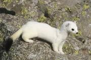 L'hermine est un petit carnivore au corps mince et effilé, long d'environ 25-30... - image 1.0