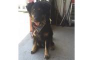 Yoshi, un labernois croisé husky de deux ans,... (tirée de Facebook) - image 1.1