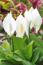 Le lys de paix est une plante très... (123 RF) - image 1.0