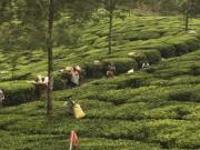 Dans une plantation de thé près de Munnar,... (Pierre Jury, Le Droit) - image 3.0