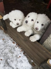 Photo des chiots prise le 17 janvier à... (AP, Marisa Basilavecchia) - image 2.0