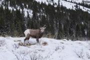 Les mouflons font partie des animaux qu'il est... (La Presse, Yannick Fleury) - image 11.0