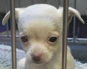 L'animalerie garde toujours espoir de retrouver le chiot,... (fournie par l'Animalerie de Cowansville) - image 3.0