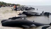 Près de 700 cétacés ont péri en s'échouant... (AP, Tim Cuff) - image 2.0