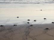 Des tortues qui se dirigent vers l'océan.... (La Presse, Nathaëlle Morissette) - image 5.0