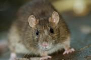 Dans presque tous les cas d'intrusion de rats,... (Photo Thinkstock) - image 1.0