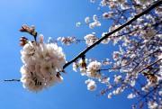 Les cerisiers ne sont en floraison que pendant... (Photo Audrey Ruel-Manseau, La Presse) - image 1.0