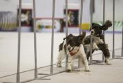 Le spectacle des Superdogs a démontré l'agilité de... (Olivier Croteau) - image 3.0