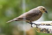 Sur environ 10000 espèces d'oiseaux, une centaine... (photo wikimedia) - image 1.0