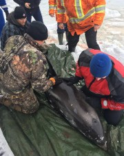People work to rescue a dolphin near St.John's... (Photo HO-Charlene Bickford, La Presse canadienne) - image 1.0