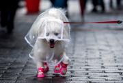 Un toutou prêt pour la pluie.... (AFP, Johannes EISELE) - image 1.0