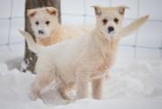 Les chiens de traîneau peuvent vivre de16 à18ans,... (Photo David Boily, La Presse) - image 1.0